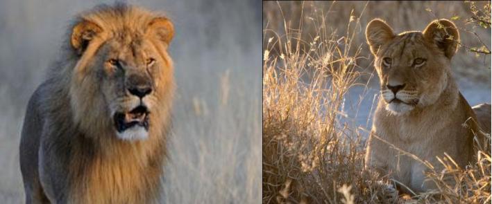 snippet Slide lions