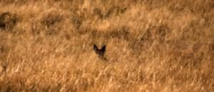 Etosha - Löffelhund