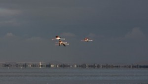 Birds - Flamingos in flight