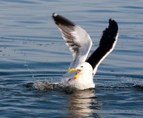 Birds - Gulls quarreling