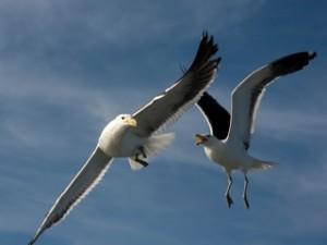 Birds - Gulls quarreling 2