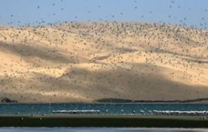 Birds - Sandwich Harbour