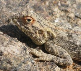 Etosha - Lizard