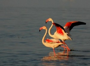 Birds - Flamingoes two