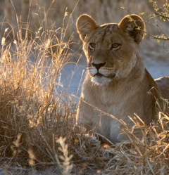 Etosha - female lion in morning sun
