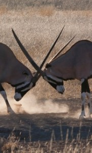 Etosha - Oryx antelopes fighting