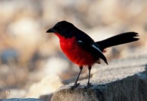 Birds - Rotbauchwürger