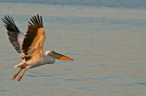 Birds - Pelican single